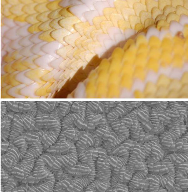 科罗拉多大学以蛇皮为灵感 开发低摩擦材料