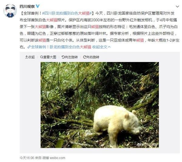 四川惊现白色大熊猫 和北极熊长得一模一样