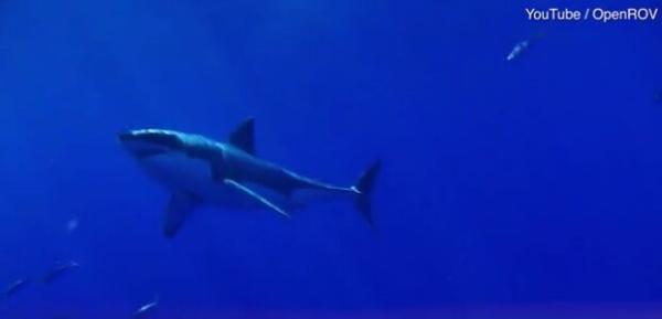 """气候变化让鲨鱼变成""""右撇子"""":海洋温度升高影响鲨鱼游泳的方向"""