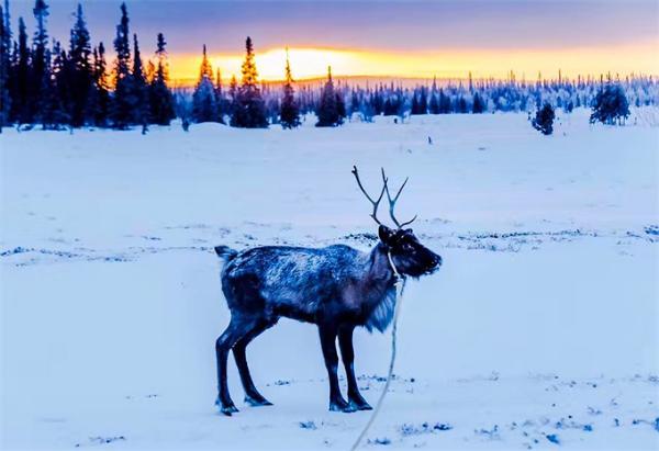 气候变化又一恶果:全球变暖导致挪威驯鹿大量死亡!