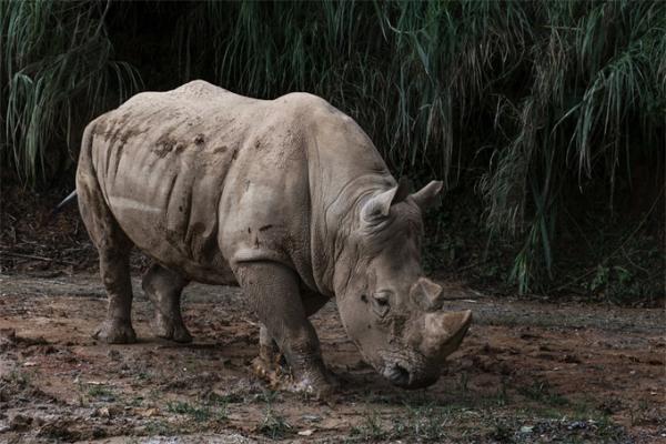 最新研究:人工胚胎有可能会拯救濒临灭绝的北方白犀牛