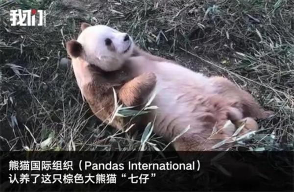 有主了!棕色大熊猫被美国组织认养 国际友人年年为中国萌物操碎了心