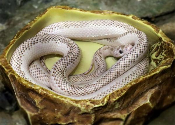 令科学家震惊的古蛇真相:它们不仅长后腿,还拥有发达的颧骨