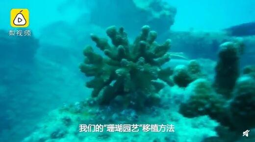 """全球超一半珊瑚已死亡 科学家妙手移植""""超级珊瑚""""回海里"""