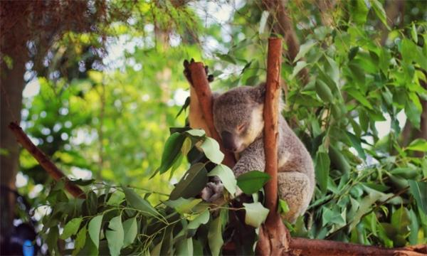 """新成员!澳动物园诞生林火后首只考拉宝宝 或成为""""濒危""""动物"""
