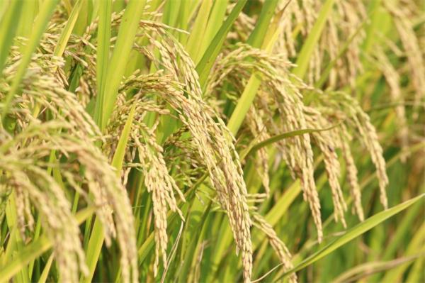 """日本名古屋大学发现两个水稻""""抗涝基因"""":可短时间内控制调节作物生长高度"""