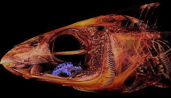 """比《异形》还诡异!科学家发现一条鱼有两张嘴 """"吸血鬼""""寄生虫伪装成舌头"""