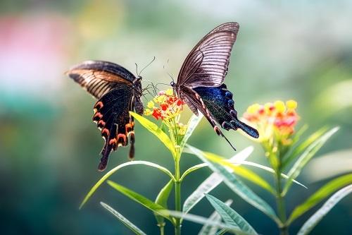 全球变暖,蝴蝶也遭殃!色彩斑斓的小蝴蝶生存危机最严重?