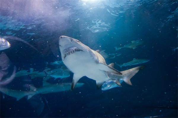 罕见!一只年龄近400岁的格陵兰睡鲨又在国外走红,为全球最神秘生物之一