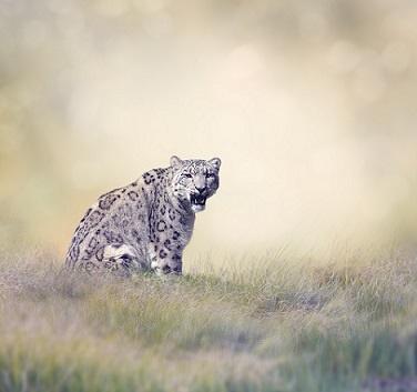 留下珍贵影像!青海海东首次发现雪豹 数量比大熊猫还稀少