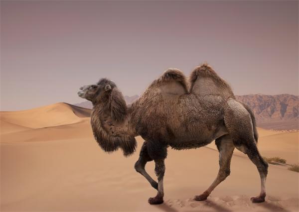 骆驼的驼峰是用来储存水的?这其实是一个美丽的误会……