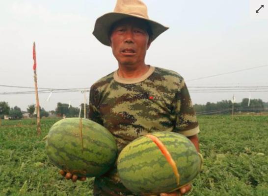 2万斤西瓜被砍烂 幕后黑手是谁?