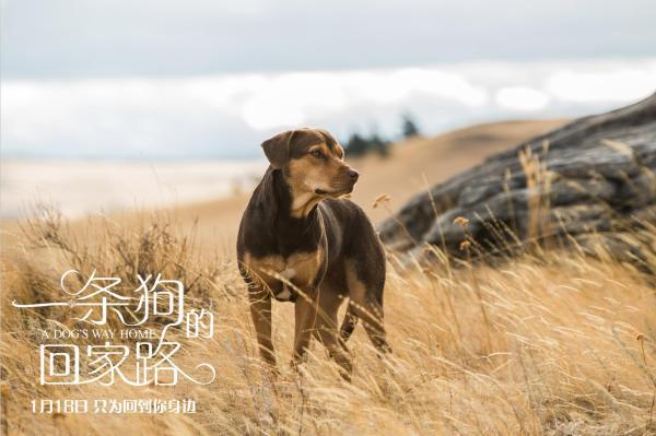 《一条狗的回家路》贝拉为爱回家获打call