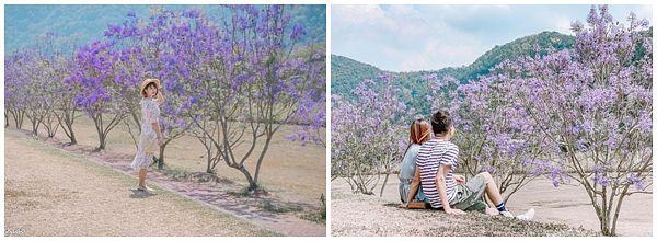 南投埔里超推赏花景点「内埔飞场-蓝花楹」&「国道6号埔里端-花旗木」,又紫又粉的季节限定美景都在这!