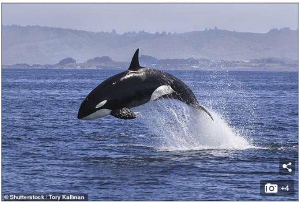 虎鲸遭受一种40年前禁用化学物质入侵 百年内可能灭绝