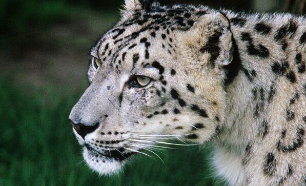 第六种动物!美国动物园三只雪豹感染新冠病毒 或被无症状员工传染