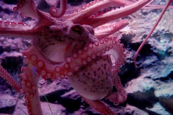 如何快速适应气候变化?人类应该向章鱼寻求建议