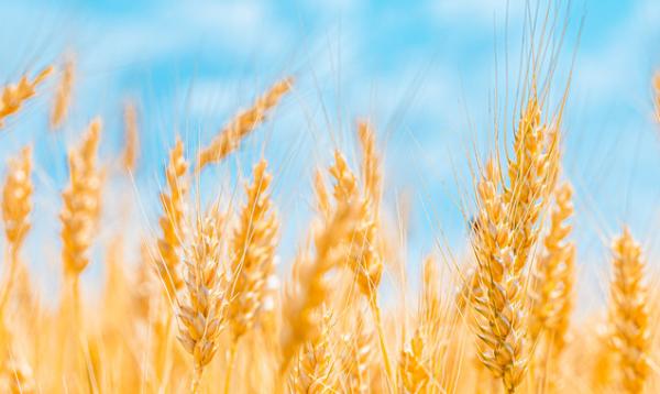 《聚合物》:用麦秆制成新型可生物降解聚氨酯泡沫