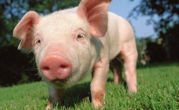 尽职!母猪生18只崽主人陪产3天不敢离:照顾不好失去一只,1千多就没了