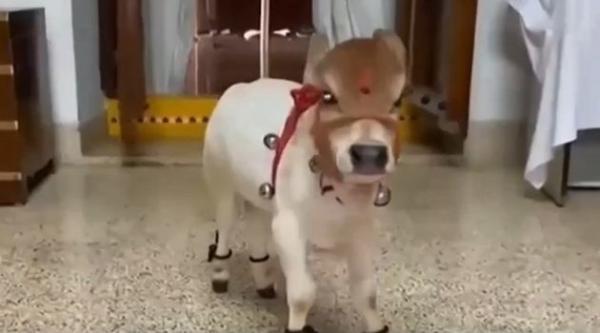 仅剩60只!印度微型牛濒临灭绝 最小牛记录不到62厘米