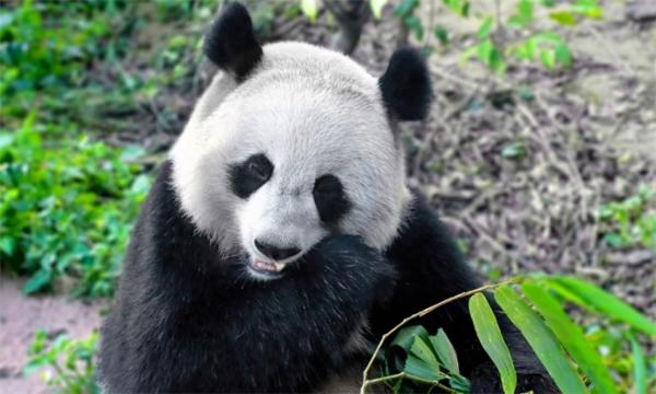 大熊猫超高质量基因组发布:两大亚种约在1万年前开始分化,或影响繁殖力