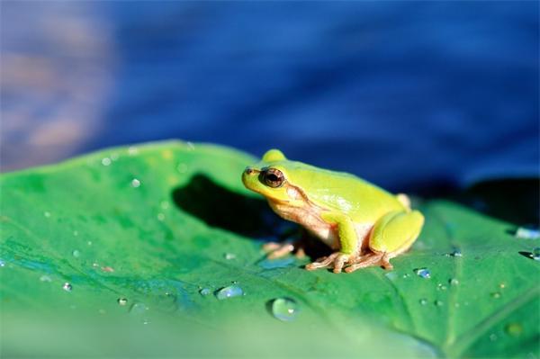 """进化史上的里程碑!生物学家对被称为""""蛙类杀手""""的致命真菌有新发现"""