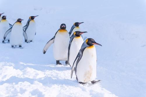 """珍贵影像!南极发现全球首只金色企鹅 摄影师称拍到""""太幸运"""""""