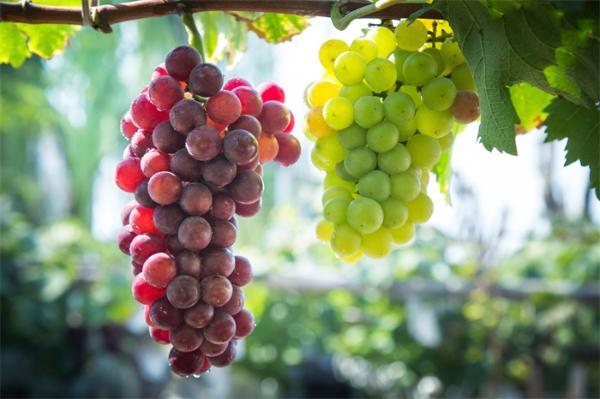 懒得涂防晒霜?多吃葡萄!美国科学家发现吃葡萄可以保护皮肤免受紫外线的伤害