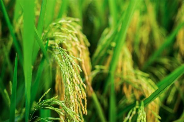 亚洲水稻可能有多个起源:中国科学院团队构建了gcHap数据集 揭示水稻全基因功能单倍型的自然变异特征