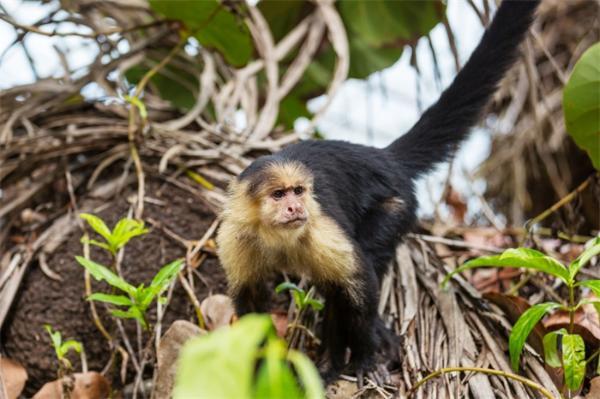 粪便DNA提取获突破!一项卷尾猴基因组研究,揭示其了其长寿、庞大大脑的原因
