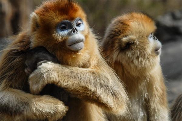 成功率94%!中国研究人员开发了猴子面部识别技术 将来可以自动识别猴子并给它们命名