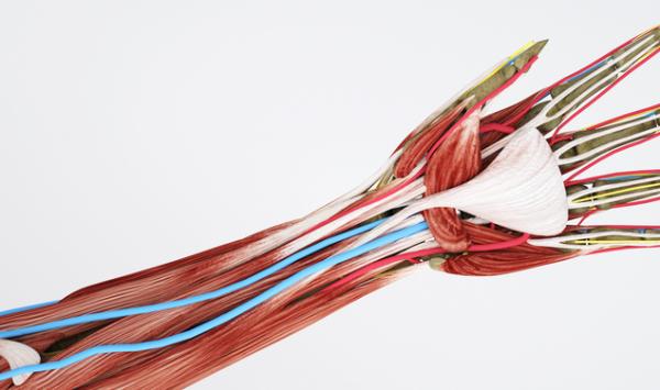 人工肌肉再生获突破!科学家利用一种生物工程纤维,顺利帮助骨骼肌肉再生