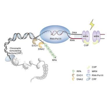 没了它真不行:北大团队发现DNA同源重组过程的关键角色