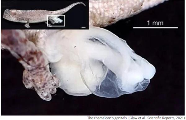 反科学!世界最小爬行动物仅指甲盖大小,但生殖器官却硕大无比