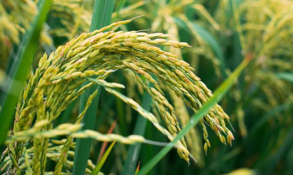 确保粮食安全!科学家用真菌消灭水稻病