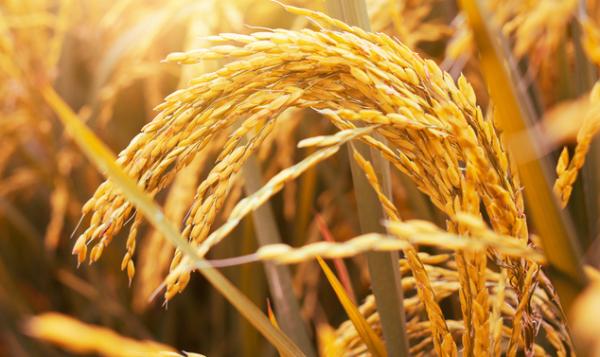 子问题《自然》:发现三个关键基因 杂交小麦产量将迎来爆发