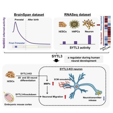 早期人脑发育的幕后功臣!复旦团队发现隐藏驱动因子SYTL3