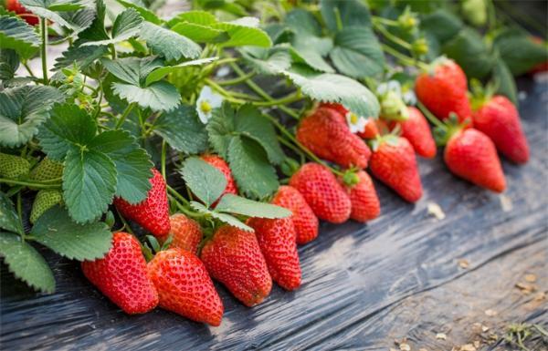 显著提高完整性和准确性!湖北省农业科学院发表优质栽培草莓基因组注释