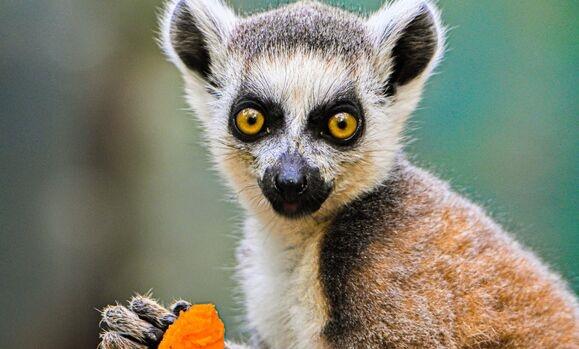 比狗鼻子还灵?狐猴靠嗅觉能找到17米开外藏着的哈密瓜