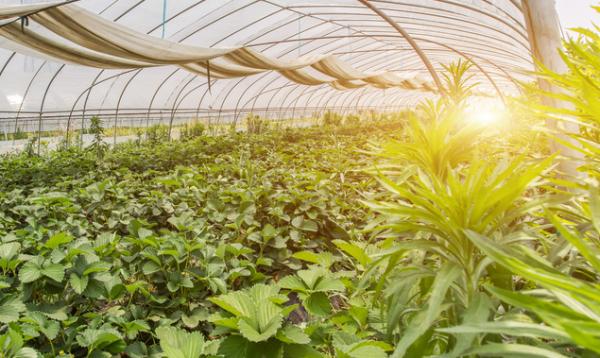 蔬菜大棚用上透明太阳能板,种菜发电两不误