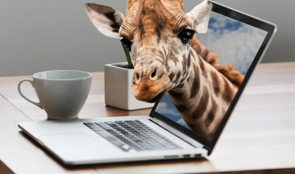 长颈鹿血压高但不高 都是基因天赋