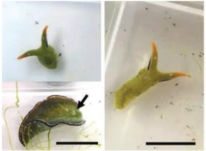 难以置信!海蛞蝓断头后还能重新长出心脏和身体,为自然界最极端再生案例