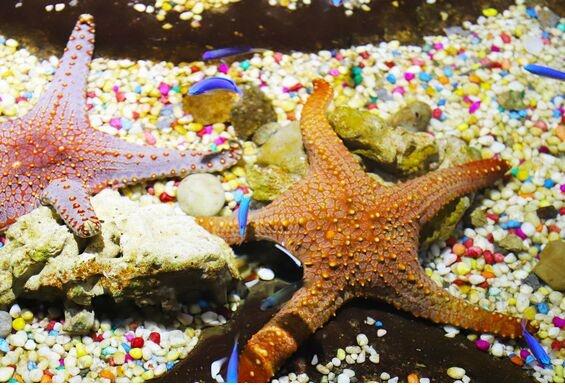 收购价上涨!青岛海星数量大幅减少,此前大举入侵胶州湾狂吃蛤蜊扇贝