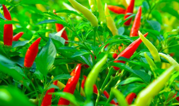 同种不同辣:科学家确定辣椒辣味差异的基因因素