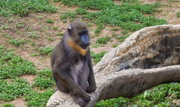 除了人类和一只鹦鹉 研究发现狒狒也能进行逻辑推理