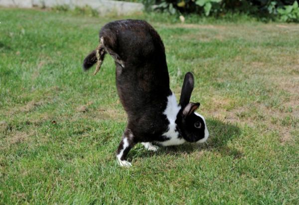 怪异兔子竟靠两只前腿倒立行走?科学家揭开其中奥秘