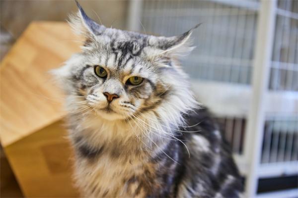 首次!研究发现大约30%的缅因猫有一种基因突变,容易导致心脏肥大