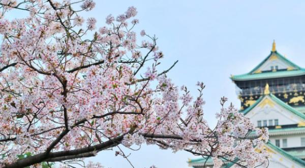 樱花开了并不见得是好事!提前开花预示更大气候危机