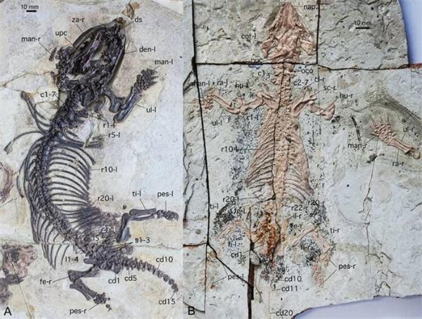 """""""挖土""""能手!2种热河哺乳形穴居新物种被发现,曾生活于1.2亿年前的中国东北地区"""