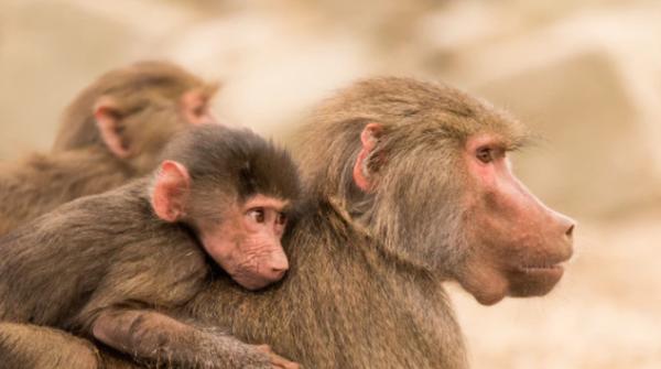 生孩子还带娃,压力太大导致雌性狒狒寿命缩短20%,人类女性可能更惨!